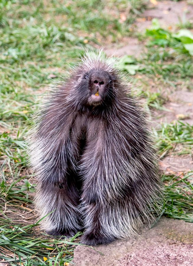 Portrait of a photogenic north american porcupine. Photogenic north american porcupine poses for a portrait while standing on his hind legs royalty free stock images