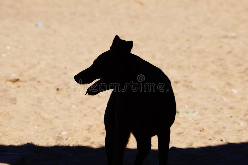 A photograph of an Australian kelpie dog royalty free stock photo
