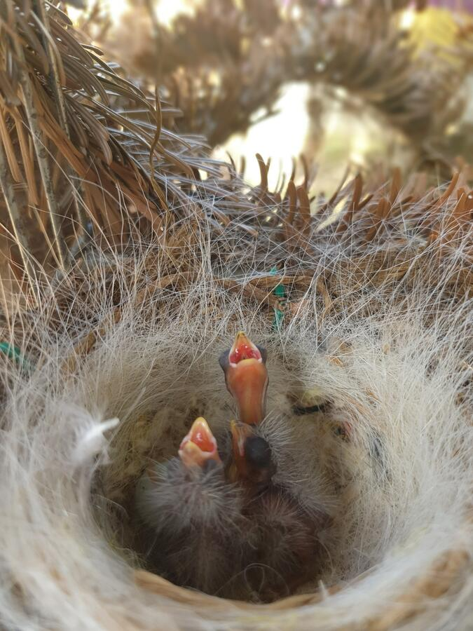 Photograph of baby canary birds in their nest. royalty free stock photos