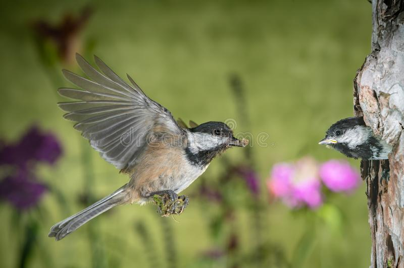 Chickadee flying back to nest to feed the chicks. This is a photograph of a chickadee flying back to nest to feed the chicks stock images