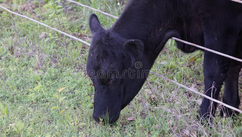 A cow reaching through the fence to graze on the other side. A photograph of a cow reaching through the fence from her pasture to get to the grass on the other royalty free stock images