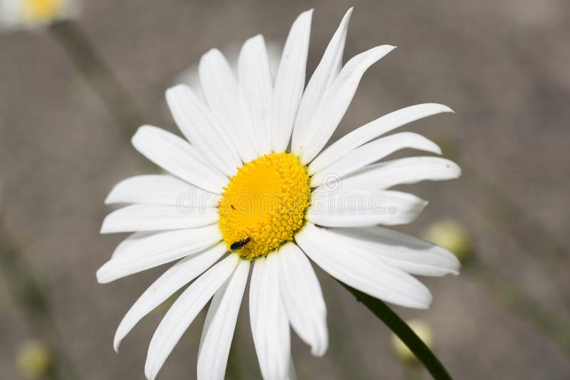 Photograph of a Daisy blooming in the yard, taken using a macro lens. 
