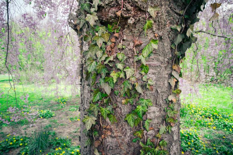 Detail of the bark on tree trunk with ivy vine royalty free stock photography