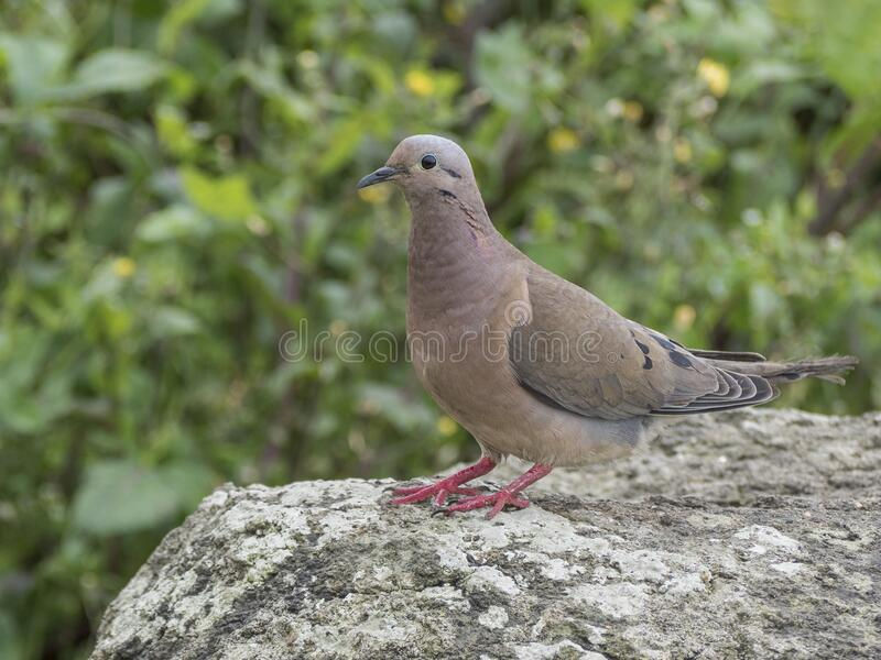 An eared dove in its natural habitat royalty free stock images