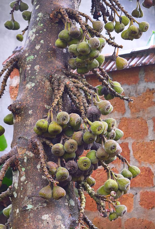 Tree and Fruits of Gular Figs - Ficus Racemosa - Indian Fig Tree in Kerala, India royalty free stock photos