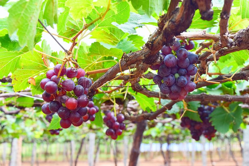 Grapes hanging on Vine in Vineyard in India - Horticulture stock images