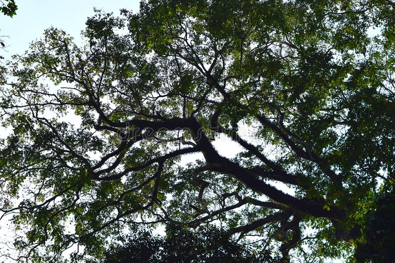 Huge Tree with Branches studded with Green Leaves - Green Cover in Tropical Forest for Environment. This is a photograph of a huge tree with multiple branches stock photos