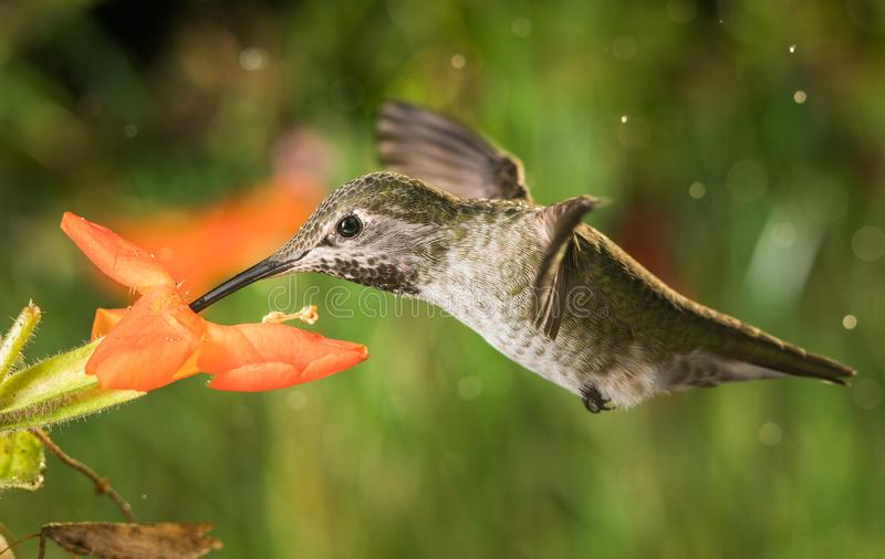 Hummingbird profile and the monkey flowers. A photograph of a hummingbird`s profile and the monkey flowers stock photo