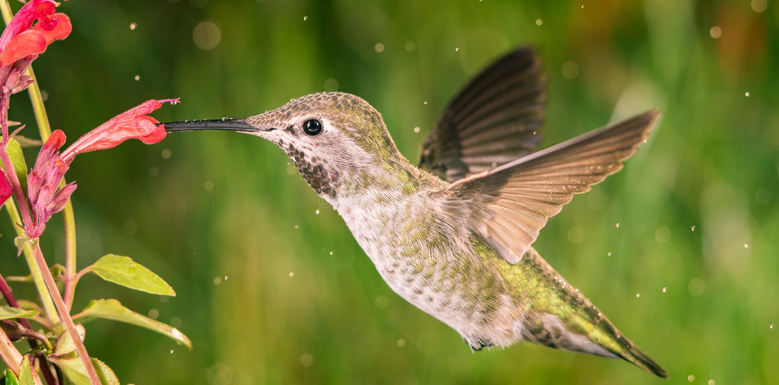 Hummingbird visits anise hyssop. This is a photograph of a hummingbird visiting anise hyssop royalty free stock photography
