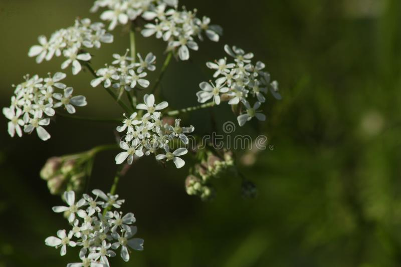 Parsley flower. Anthriscus sylvestris. Green background stock photography