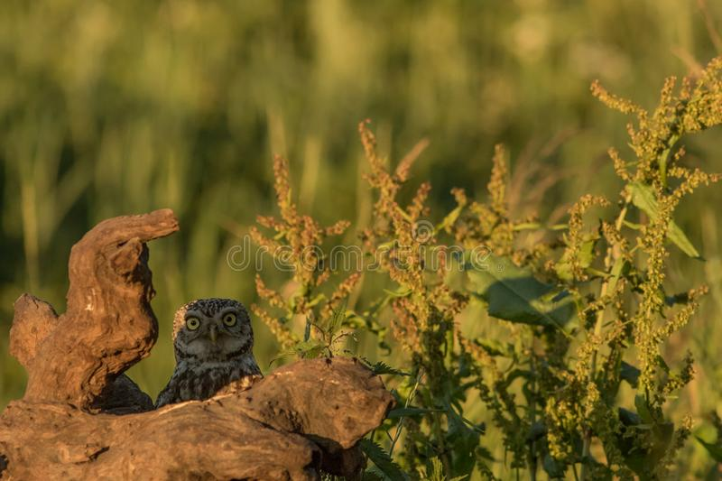 Little owl peek a boo. This is a photograph of a little owl that is playing peek a boo stock image