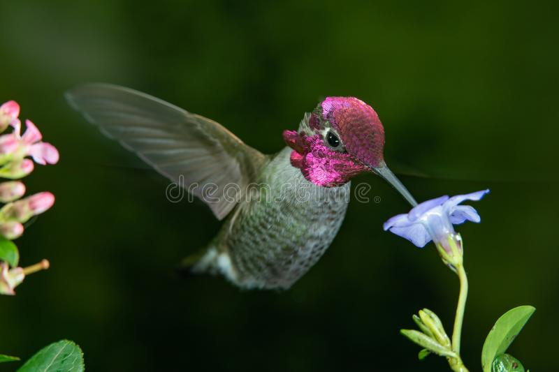 Male hummingbird visits blue flower. This is a photograph of a male hummingbird visits blue flower stock photography