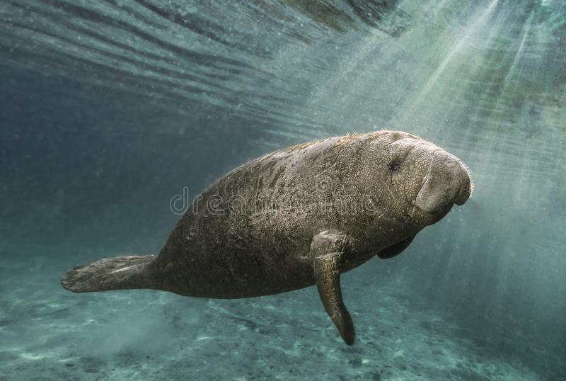 Manatee swimming through sunrays. Photograph of manatee near 3 Sister`s Spring in Crystal River Florida. This young fella was fascinated by his reflection in my stock image