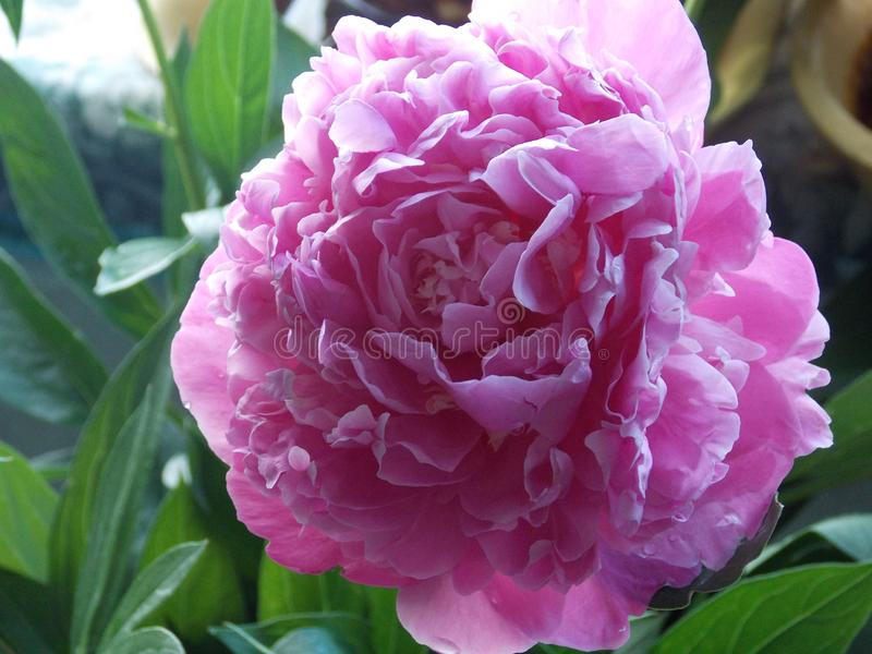 Photo of fluffy peony flower on the background of leaves royalty free stock images