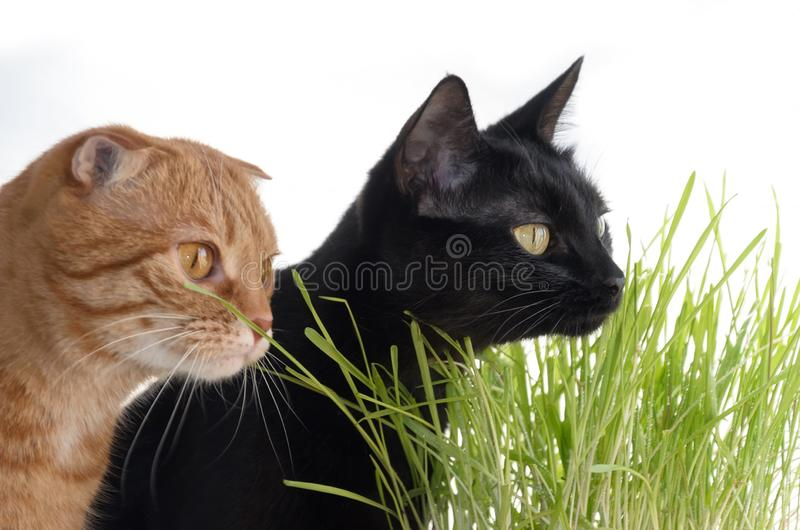A photograph of a red fold and a black cat eating grass. Focus on the black cat. stock image