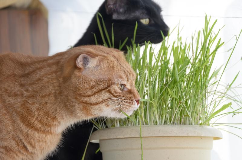 A photograph of a red fold cat and a black cat eating grass from a flower pot royalty free stock photos