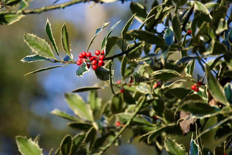 Red Holly Berries Winter. A photograph of red holly berries with a blurred background. A very beautiful and natural photo royalty free stock image