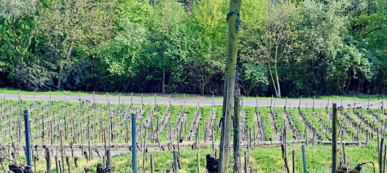 Panorama Vineyard Lohrberg, Frankfurt / Main, Germany. This photograph shows a vindeyard in the foregrund. In the background are some bushes and trees. The stock image