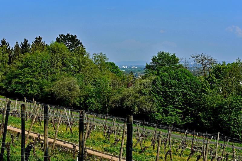 Vineyard Lohrberg, Frankfurt / Main, Germany. This photograph shows a vindeyard in the foregrund. In the background are some bushes and trees. The photography stock images