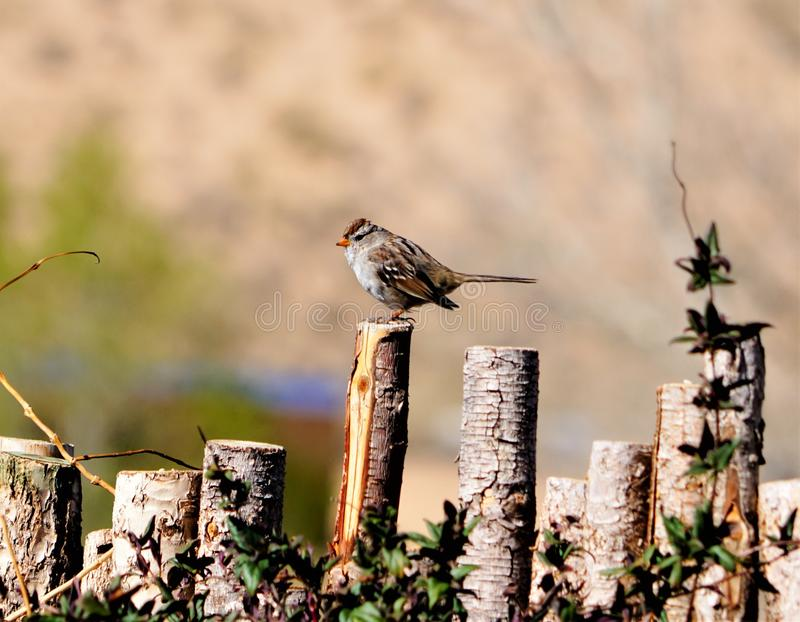 A photograph of a sparrow sitting on the coyote fence stock photo