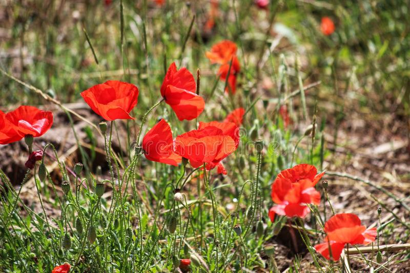 Photograph taken in the daylight of a field full of red poppy flowers stock images