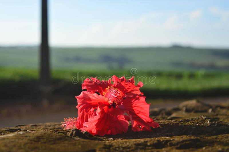 Hibiscus flower left on the graveyard wall stock image