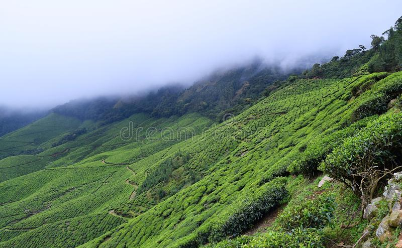 Tea Gardens With Misty Hills - Green Landscape Stock Photo - Image ...