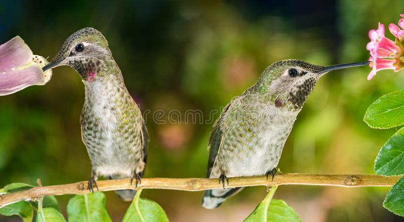 Everyone has their own preferences. A photograph of two hummingbirds on twig enjoying their own preferred flowers royalty free stock photo