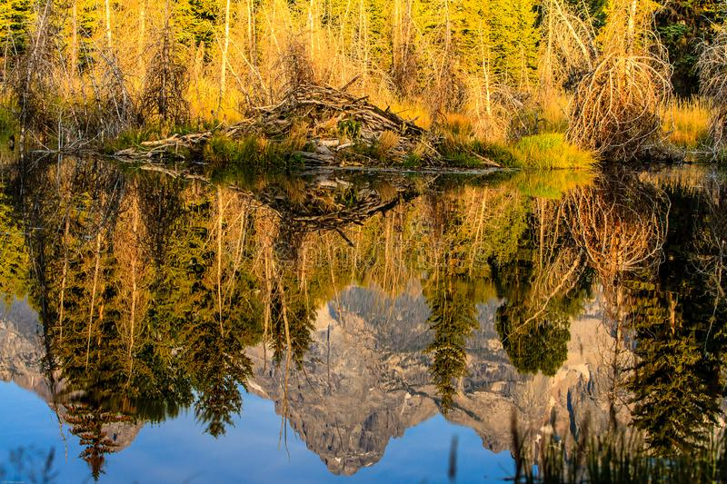 Beaver Lodge and Reflections Jackson Hole. This photograph was captured in the Grand Teton National Park.  There is a beaver lodge and nice reflections in the royalty free stock photos