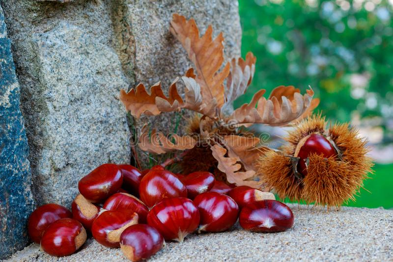 This photograph was taken in a chestnut forest in the province of Salamanca in October 2018. In it you can see a lot of chestnuts royalty free stock photo