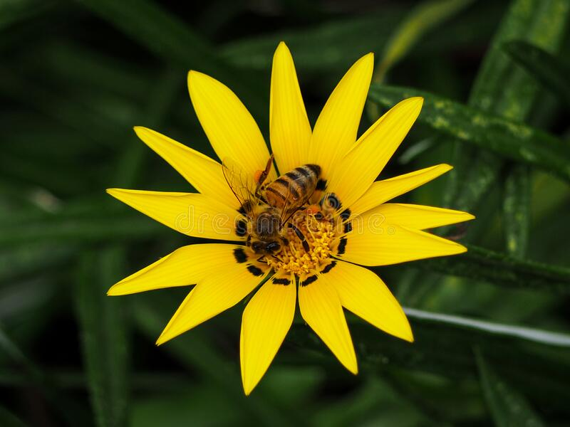 Photograph of a yellow flower with a bee on it. A close up photograph of a vivid yellow flower gazania stock photography