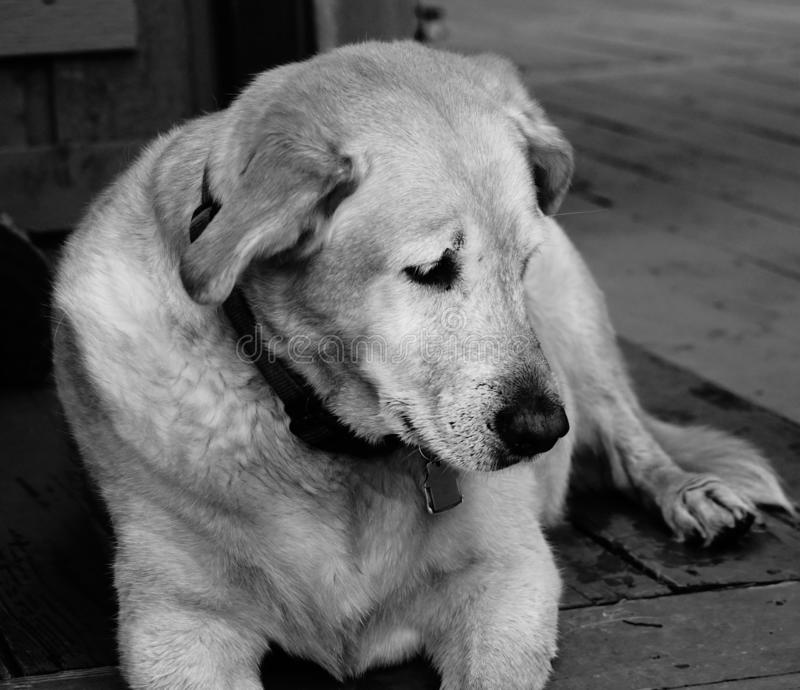 A labrador in black and white stock photography
