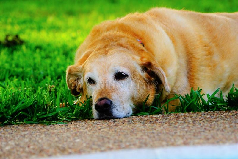 A photograph of a yellow labrador laying in the grass stock photography