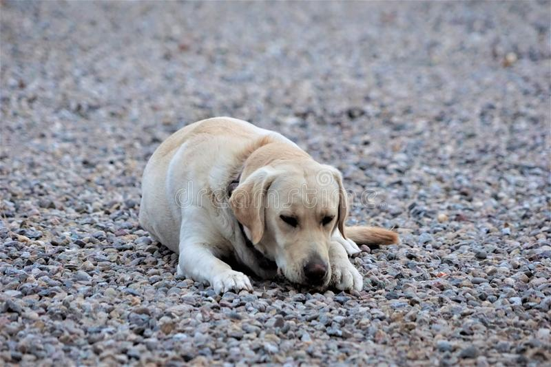 A photograph of a yellow labrador laying in the gravel stock photo