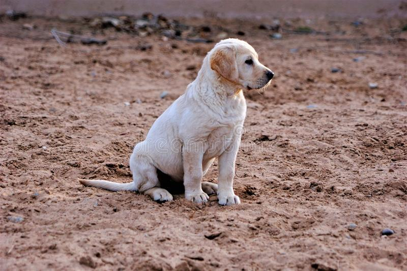 A photograph of a yellow labrador puppy sitting in the sand stock photos