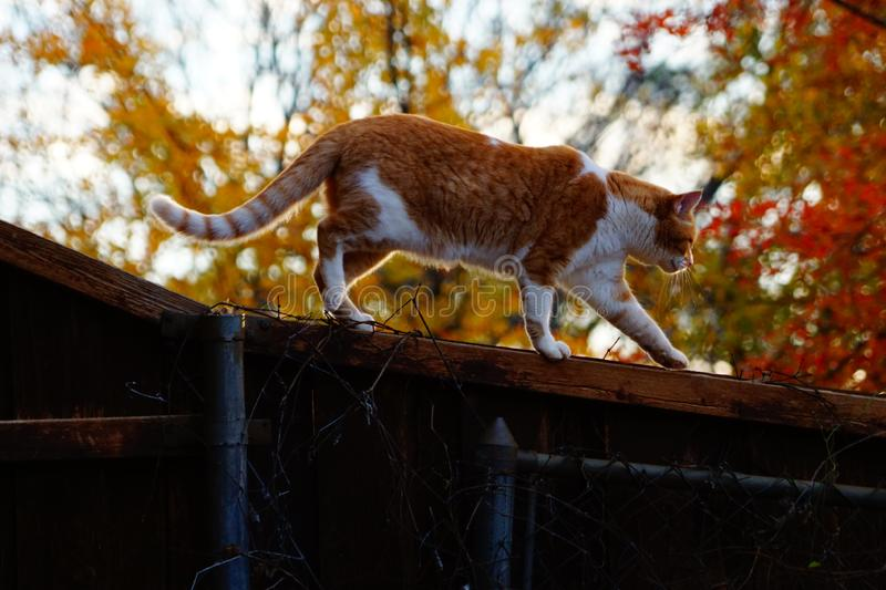 A photograph of a yellow tabby cat on a fence royalty free stock images