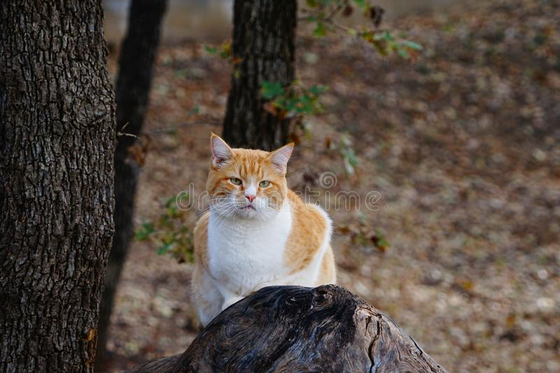 A photograph of a yellow tabby cat sitting on a log royalty free stock photos