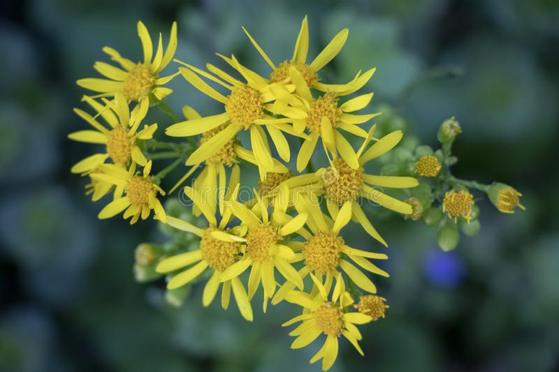 Yellow Flower in the Wild. This is a photograph of yellow wild flower on a cloudy day in the park stock image