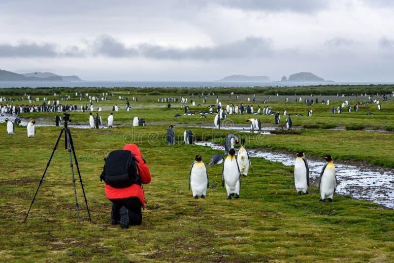 Photographe dans le manteau rouge avec le sac à dos et le trépied noirs se mettant à genoux et prenant des photos des pingouins d image stock