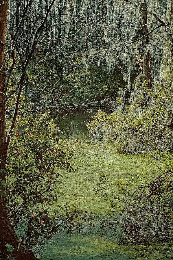 Spanish Moss Overhanging Green Covered Swamp stock image