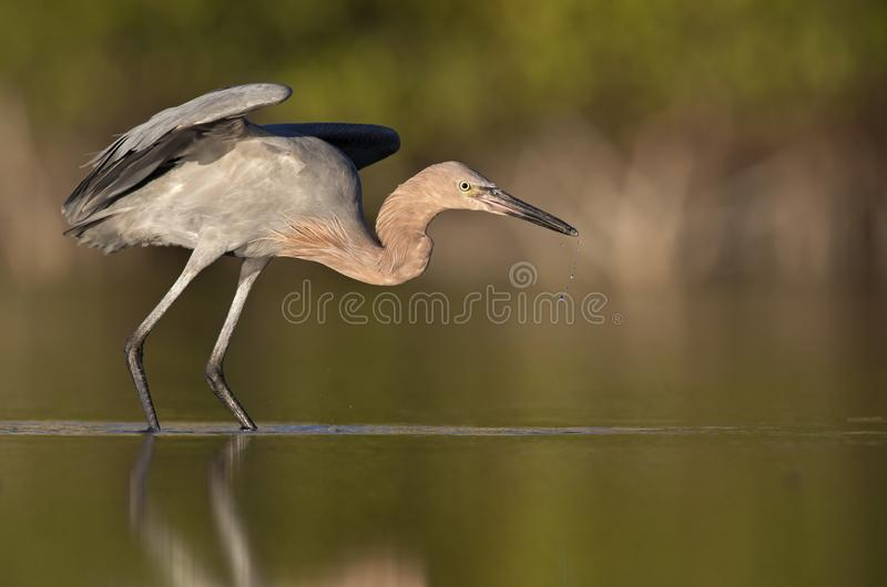 A reddish egret Egretta rufescens stretching its wings in a pond at Fort Meyers Beach. stock photo