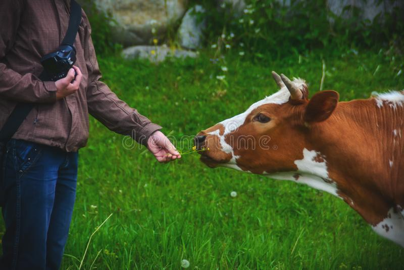 Photographer feeds a cow royalty free stock photos