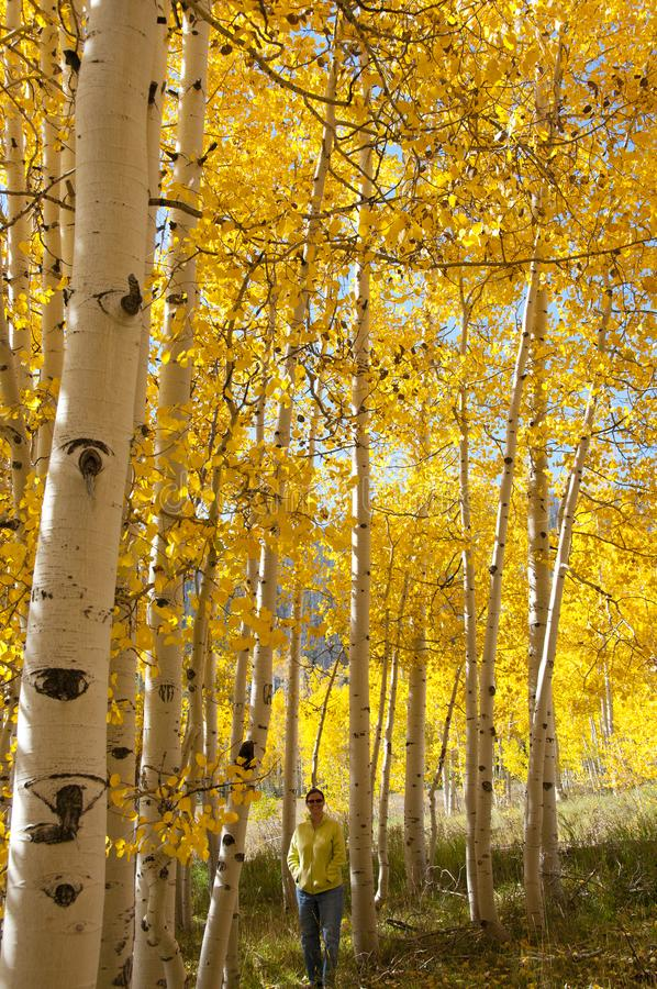 Fall Foliage on Yellow Aspen Trees showing off their Autumn Colors. Photographer Katharina Notarianni enjoying the view from within the beautiful yellow leaves stock photos