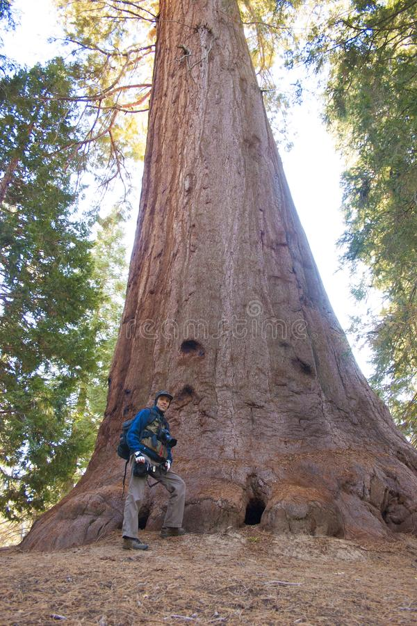 A photographer near a tree. Giant Sequoia trees in Sequoia National Park. royalty free stock photography