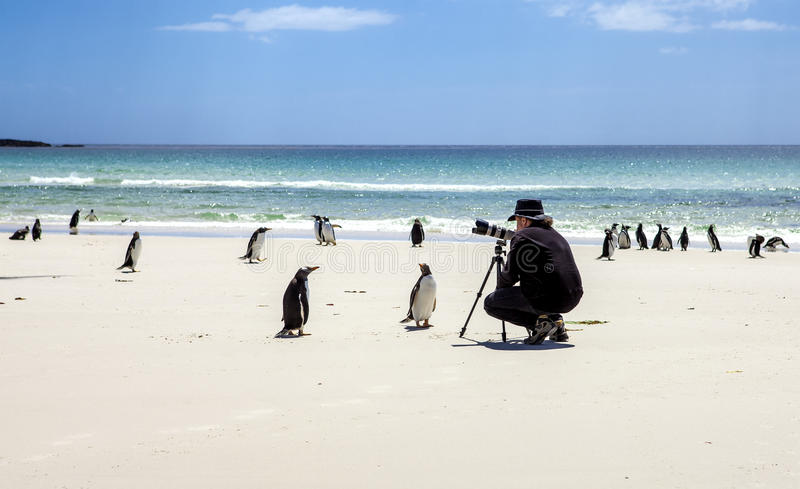 Photographer with penguins at Falkland Islands-2 stock photo