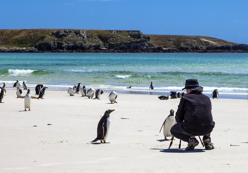 Photographer with penguins at Falkland Islands-3 royalty free stock photography