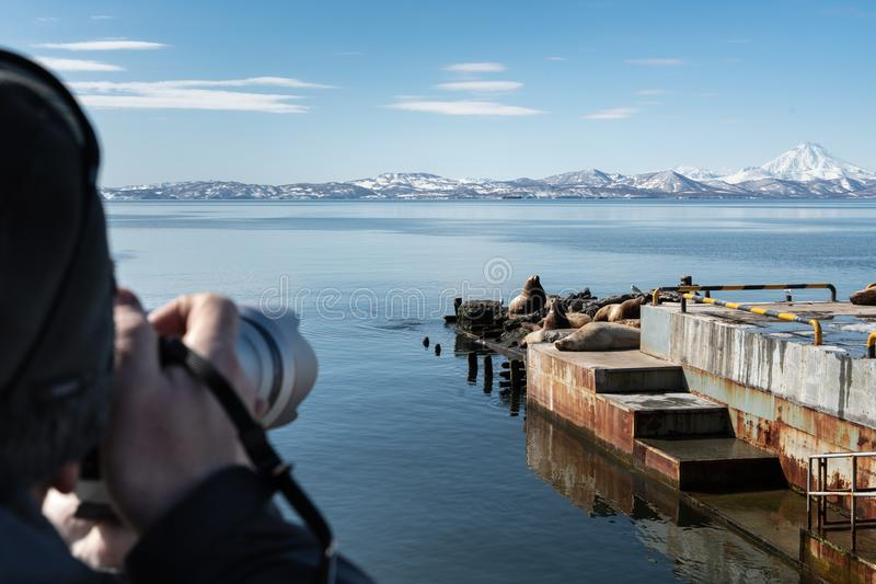 Photographer shoots on camera wild animals Steller Sea Lion. Or Northern Sea Lion Eumetopias Jubatus wintering on pier on Pacific Coast Avacha Bay, Kamchatka royalty free stock images