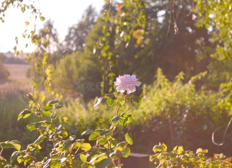 Photographie d'art Roses d?fra?chies Roses et herbe s?che fan?es sur une surface en bois Fond trouble de papier peint de nature photos stock