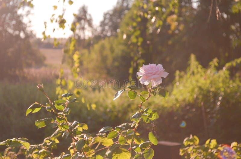 Photographie d'art Roses d?fra?chies Roses et herbe s?che fan?es sur une surface en bois Fond trouble de papier peint de nature image stock