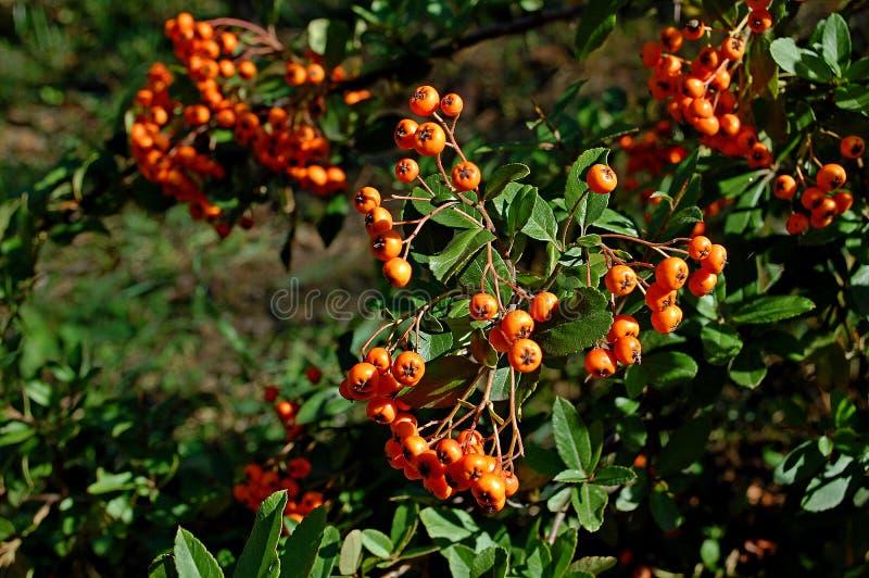 Photographie d'une épine pyracantha angustifolia d'oranger rétrécie photo stock